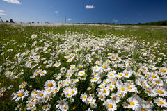 Hayfield. With daysies, beautiful nature of Latvia Royalty Free Stock Photos