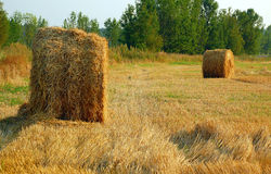 Haymaking in August. Hay stacks in the field at the end of summer in August in Russia Royalty Free Stock Photo