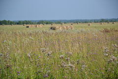 Haymaking, verano, Rusia, paisaje, julio Fotos de archivo