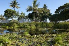 Hayman Island. Water lilies on a pond at Hayman Island, Australia Stock Image