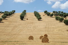 Hayrolls and olive trees landscape Royalty Free Stock Photos