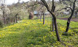 Haystack and dandelions 4. Haystack and dandelions in Transylvania Royalty Free Stock Photo