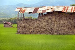 Haystack in storage on rice field. pile of dry yellow straw. Ingredient of fertilizer for agriculture Royalty Free Stock Images