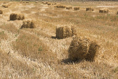 Haystacks in the field after harvest Royalty Free Stock Photo