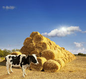 Haystacks on the field. Royalty Free Stock Photos