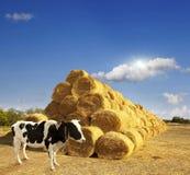 Haystacks on the field. Stock Photo