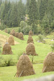 Haystacks in field. Haystacks or stooks, in field with grass recovering after haymaking, with background of fir tree forest royalty free stock images