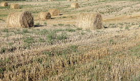 Haystacks in a field of straw Royalty Free Stock Image