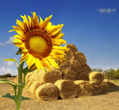 Haystacks on the field. sunflower Stock Photography