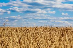 Haystacks Harvesting wheat. Bread in the field.  royalty free stock photography