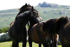 Haytor Down & a herd of Dartmoor Ponies Royalty Free Stock Photos