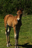 Dartmoor Spring Time Foal Royalty Free Stock Photos