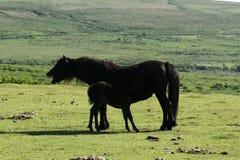 Haytor Down & Dartmoor Ponies Royalty Free Stock Photography