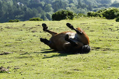 Haytor Down & a herd of Dartmoor Ponies Royalty Free Stock Photography