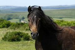 Dartmoor Pony on Cold East Cross Stock Image