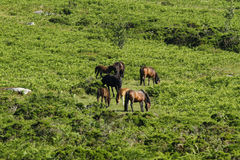 Haytor Down & a herd of Dartmoor Ponies Royalty Free Stock Image