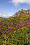 Haytor and Heather, Dartmoor Stock Image
