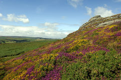 Haytor and Heather, Dartmoor. View of Haytor rocks Dartmoor covered in heather in full stock photo