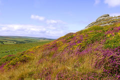Haytor and Heather, Dartmoor. View of Haytor rocks Dartmoor covered in heather in full stock image