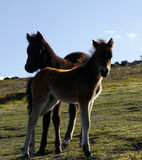Haytor Down & Dartmoor Babies Royalty Free Stock Image