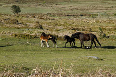 Haytor Down & Dartmoor Ponies Royalty Free Stock Photography