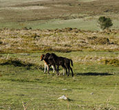 Haytor Down & 3 Dartmoor Foals Stock Photos