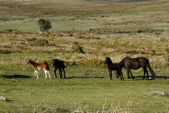 Haytor Down & Dartmoor Ponies Stock Photo