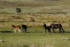Haytor Down & Dartmoor Ponies Stock Photo