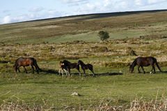 Haytor Down & a herd of Dartmoor Ponies Royalty Free Stock Image