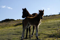 Haytor ska?y & Dartmoor koniki Zdjęcie Royalty Free