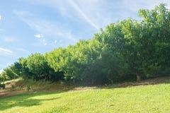 Haze на нескольких плантация персикового дерева на поле Стоковое Изображение