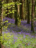 Haze of Bluebells royalty free stock photo