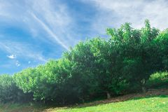 Haze on several peach tree plantation on field royalty free stock photography