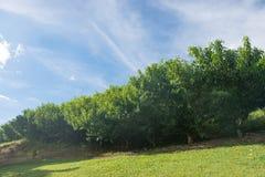 Haze on several peach tree plantation on field stock photography