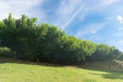 Haze on several peach tree plantation on field royalty free stock image
