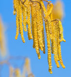 hazel ветви стоковое изображение