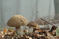 Hazel Bolete mushroom (Leccinum pseudoscabrum) Stock Photos
