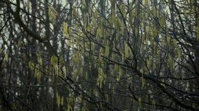 Hazel boom in de lente, mannelijke en vrouwelijke bloemen Stock Foto's