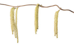 Hazel branch with catkins Stock Images