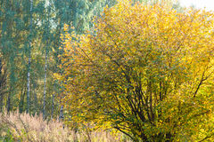 Hazel bush in an autumn forest. Sunlit hazel or filbert bush and birch trees in an autumn forest. Nobody around. Fall or Indian Summer theme Royalty Free Stock Photos