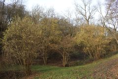 Hazel bushes in early blossom, mild winter season in Germany at Middlerhine area. Hazel bushes along a greek and nice nature trail in early yellow blossom. Mild Stock Photos