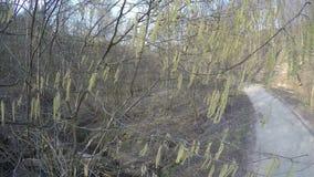 Hazel catkin tails tree blooms. Brook water flow. Hand shot. 4K stock footage