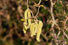 Hazel catkins Royalty Free Stock Photography