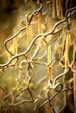 Hazel catkins Royalty Free Stock Photography