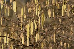 Hazel catkins close up. Close up of hazel catkin flowers in winter stock photography