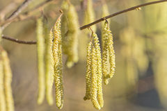 Hazel catkins - Corylus avellana in early spring, highly allerge Royalty Free Stock Photography