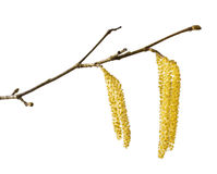 Hazel catkins Royalty Free Stock Images