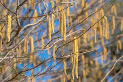 Hazel catkins at a sunny day Stock Photo