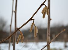 Hazel catkins in the winter. On the blurred background of snow stock photos