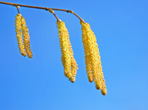Hazel catkins Stock Photography